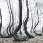 Eğri Büğrü 400 Ağacın Bulunduğu Mistik Orman'ın Sırrı