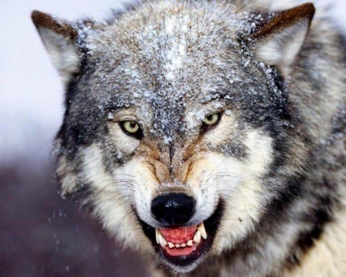 agresif-hayvan-13