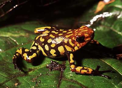 kokoi ok kurbağası dünyanın en zehirli hayvanı
