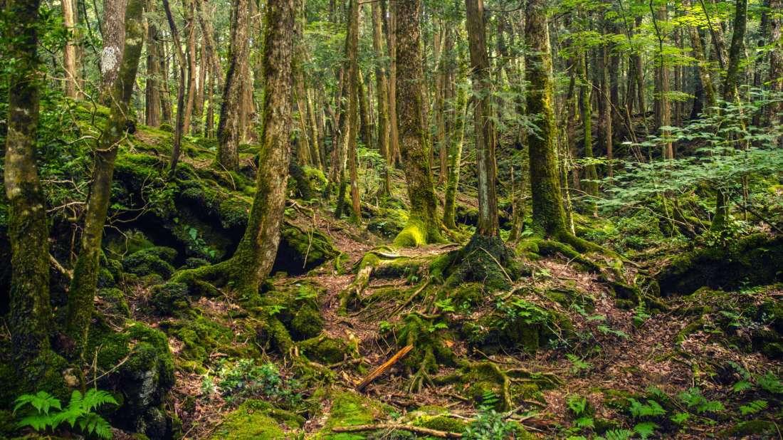 Aokigahara Ormanı Laneti – Japonya'da Bir İntihar Ormanı