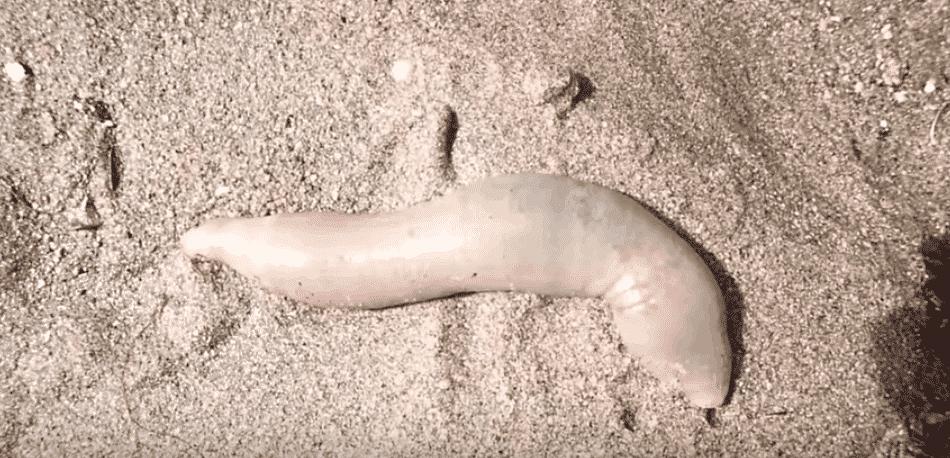 Kaliforniya'da Penis Balıkları Sahillere Vurdu