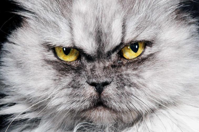 Araştırma: Kediler sahiplerine köpeklerden daha fazla bağlılık gösterdi