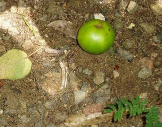 Bu Ağacın Altında Durmak Bile Ölümcül Olabilir!
