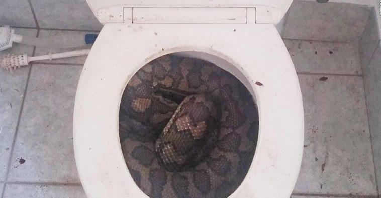 Yılanlar Gerçekten Tuvalet Borusundan Çıkabilir Mi?