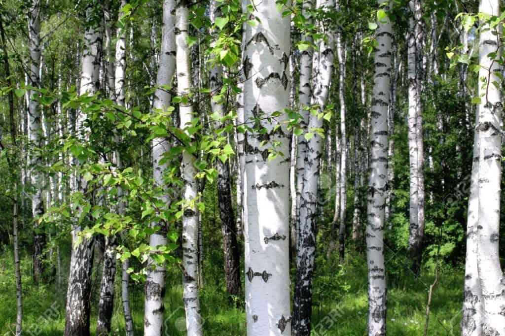 Huş Ağacı Nedir? – Özellikleri Nelerdir?