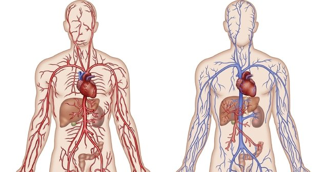 Büyük ve Küçük Kan Dolaşımı Nedir, Nasıl Gerçekleşir?