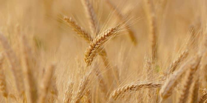 Durum Buğdayı Nedir?