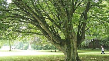 Gürgen Ağacı ve Özellikleri