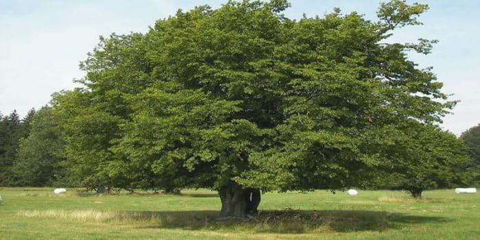Gürgen Ağacının Türleri