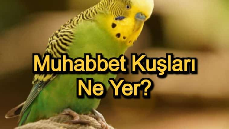 Muhabbet Kuşları Ne Yer? – Muhabbet Kuşları Beslenmesi ve Dikkat Edilecekler
