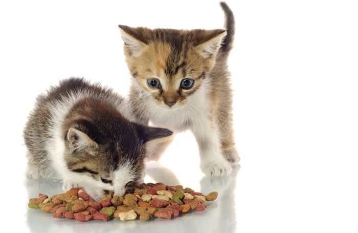 kittens eating cat food